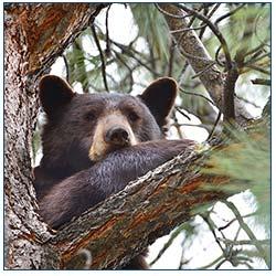 Be Bear Smart in Tahoe
