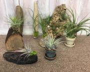 Air Plants - Wanda's Floral and Gifts