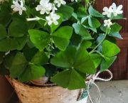 Shamrock Plant - Enchanted Florist